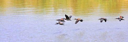 Formación de pájaros Fotografía de archivo libre de regalías