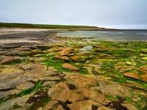 Formación de roca de la playa por completo de algas verdes, Islas Orcadas, Escocia fotografía de archivo