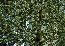 Formación del germen de la palma Fotografía de archivo libre de regalías