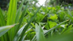 Formación del Pandanus, verde, hogar del jardín, Tailandia almacen de metraje de vídeo
