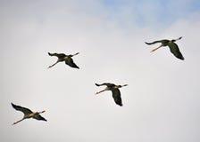 Formación de los pájaros Fotografía de archivo