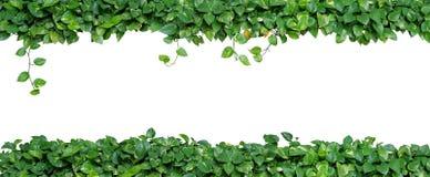 Formad hjärta lämnar vinrankan, murgrönan för jäkel` s, den guld- pothosen, isolerad nolla Arkivbilder