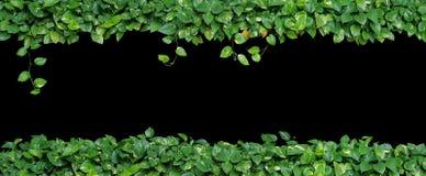 Formad hjärta lämnar vinrankan, murgrönan för jäkel` s, den guld- pothosen, isolerad nolla Royaltyfri Foto