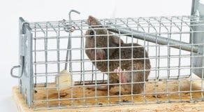 Formaggio libero in una trappola per topi Fotografia Stock Libera da Diritti