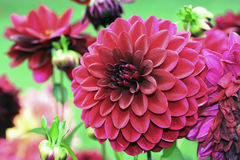 Formal decorative red dahlias Stock Photo