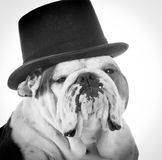 Formal dog Royalty Free Stock Photos