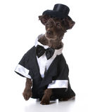Formal dog Stock Photography