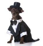 Formal dog Stock Images