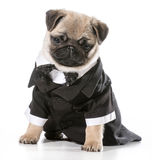 Formal dog. Pug wearing tuxedo isolated on white background Royalty Free Stock Photography