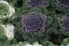 Formal garden planting ornamental cabbages Royalty Free Stock Images