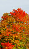 Formal gown of fall on my maple tree Royalty Free Stock Images