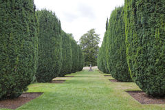 Formal landscaped garden with cone topiary yew plants. Rows of topiary cones of yew hedge with a grass path between, leading to an oak tree, in a summer garden royalty free stock images
