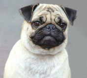 Formal portrait. Little pug dog whit a serious face royalty free stock image