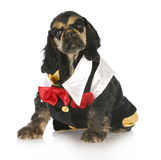 Formal puppy. Cocker spaniel puppy wearing formal shirt and tie on white background Stock Photo
