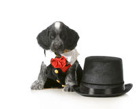 Formal puppy Stock Photography