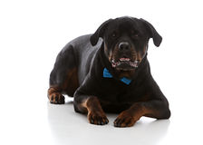 Formal Rottie Royalty Free Stock Image