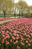 Formalny ogród różowi tulipany Obrazy Stock