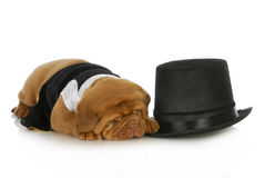Formalny pies zdjęcia royalty free