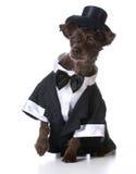 Formalny pies fotografia stock