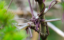 Formando o pinheiro dos bonsais das agulhas com fio, corda e galho Fotos de Stock Royalty Free