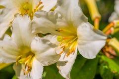 formatet för blomman för designeps-mappen inkluderar bakgrund blommar glansig white för lilja två Arkivfoton