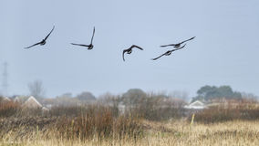 Formation of Canada goose flying in clear Winter sky Stock Photo