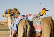 Formation de chameau - l'équipe et le jockey Photo stock
