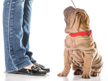 Formation de chien Photo stock