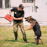 Formation de chien d'Alsatian Wolf Dog de berger allemand Crabot mordant Photo libre de droits