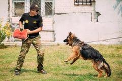 Formation de chien d'Alsatian Wolf Dog de berger allemand Crabot mordant Deut Photographie stock libre de droits