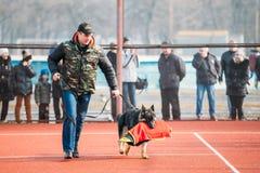 Formation de chien de berger allemand dans le club de sports régional de Gomel et le d Image stock