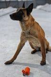 Formation de chien policier Photo libre de droits