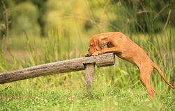 Formation de chien de Vizsla de Hongrois photographie stock