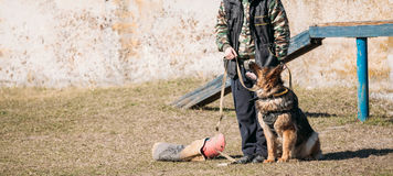 Formation de Dog de berger allemand Images stock