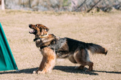 Formation de Dog de berger allemand Crabot mordant Photographie stock libre de droits