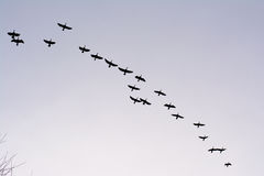 Formation de grand carbo de Phalacrocorax de cormorans en vol - Image stock