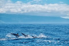 Formation diving dolphins. Three striped dolphins dive together with the island of Pico in the background Stock Photography