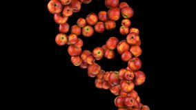 Formation of DNA. DNA strands are assembled from red apples. 4K stock illustration