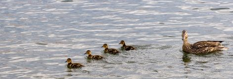 Formation of ducks 2 Royalty Free Stock Photography