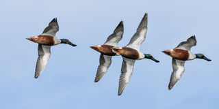 Formation Flying. Northern Shovelers flying in formation stock images