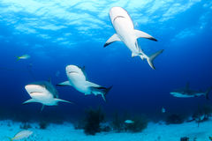 Formation Flying Sharks Stock Photography