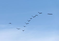 Formation of flying waterbirds Stock Photo
