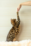 Formation le jeune chat du Bengale Image stock
