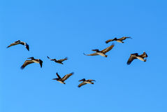 Formation of pelicans flying for food Royalty Free Stock Photos