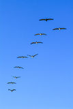 Formation of pelicans flying for food Stock Images