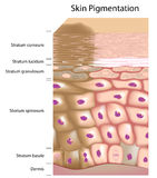 Formation of uneven skin tone. Overactive melanocyte produces more pigment and is responsible for age spot, eps8 Stock Images