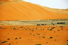Formations étonnantes de dune de sable et chameaux dans l'oasis de Liwa, Emirats Arabes Unis image libre de droits