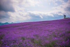 Formativer Lavendel-Feld-Park Stockfoto