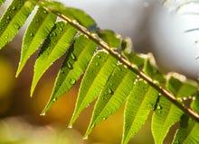 Formato Dews sulle foglie di mattina, natura Fotografia Stock
