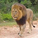 Formato quadrado do leão Imagem de Stock Royalty Free